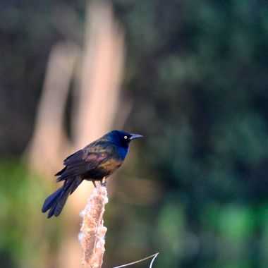 This little guy was at a pond half a kilometer from my home. The grackle is a species of blackbird.