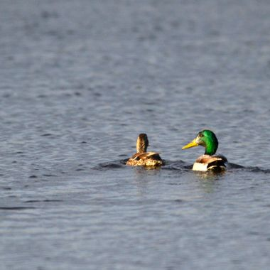 The male mallard was squawking at his mate