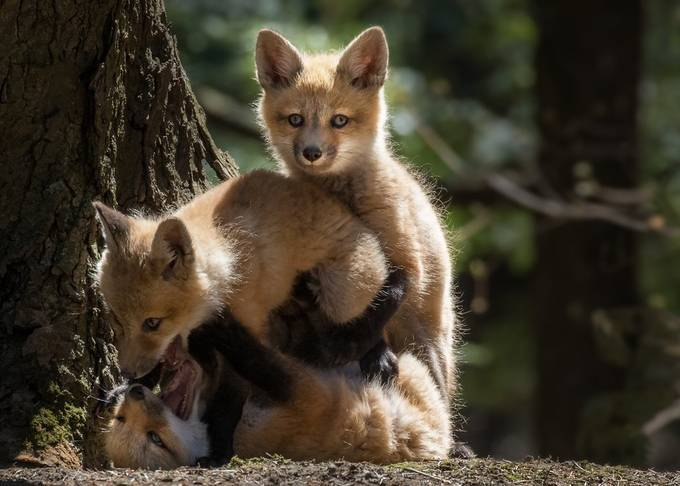 Little foxes by mariejosecouture - Our Natural Planet Photo Contest