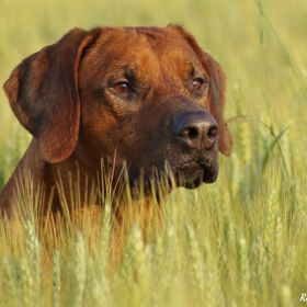 Majestic Rhodesian Ridgeback orginally from the majestic land of South Africa