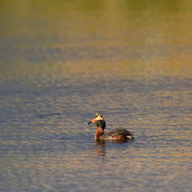 I photographed this horned grebe early in the morning, with his horns sticking straight up.
