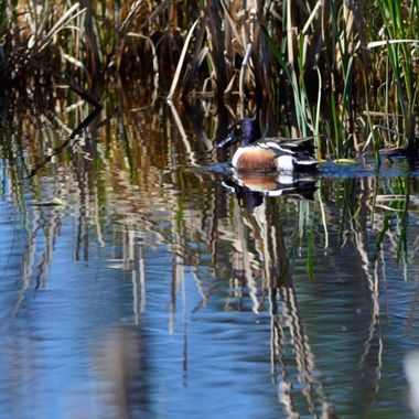 The northern shoveler is a large duck with a very long bill, used for digging in the muddy ground of the marsh.