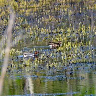_DSC2481greenwing teal