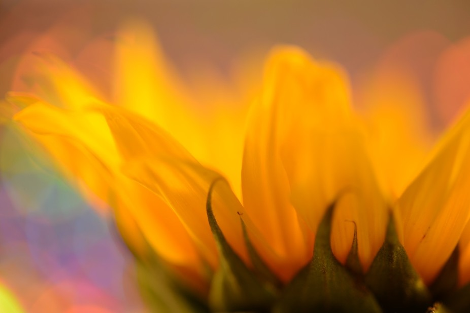 Sunflowers scream warm weather and summer color.  This image was created using colorful Mylar as ...