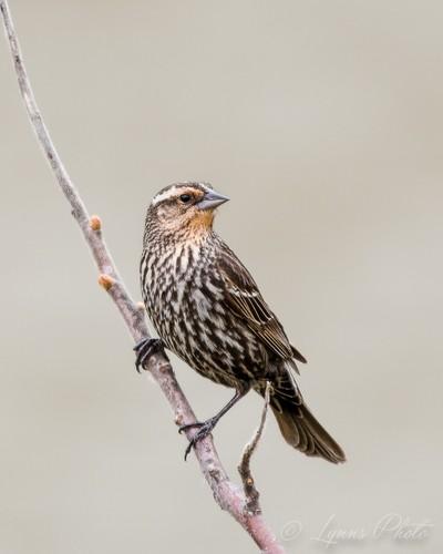 Female Red Winged Blackbird