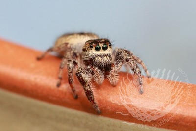 My Friend the Jumping Spider