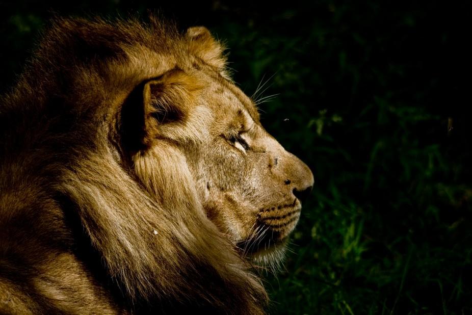 Lion enjoying the setting sun