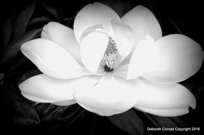 Magnolia in black and white