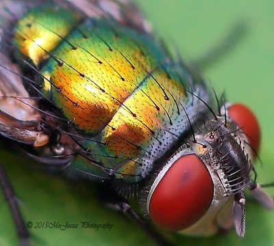 Metalica Fly