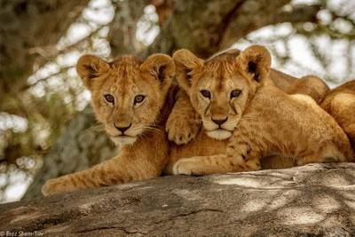 twins cubs
