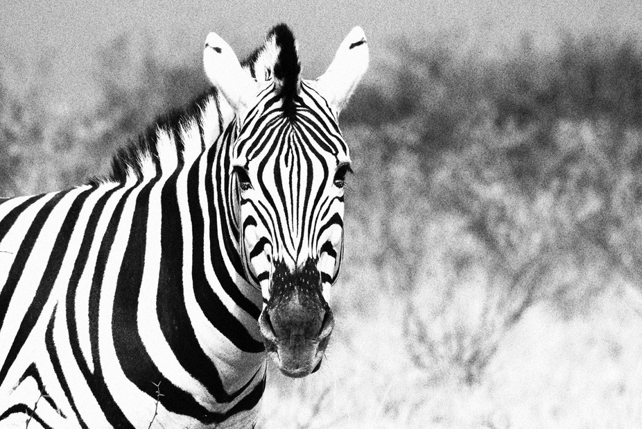 Zebra at Etosha National Park in Namibia.  Just for fun, I transposed this photo into black and w...
