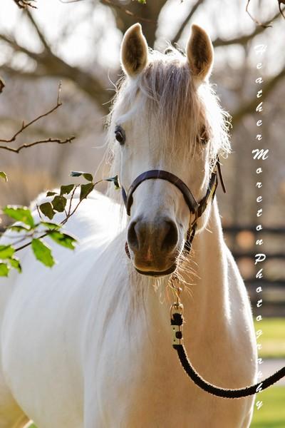 Little Grey Arabian Mare 1