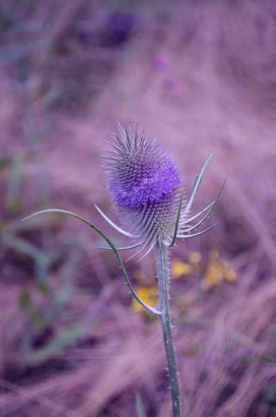 blue softness of a teasel