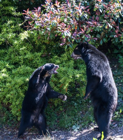 Spectacled bear face off