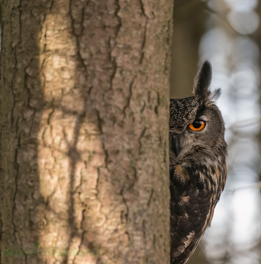 Eurasian Eagle Owl peaking. by vmaidens - Can You See Me Photo Contest