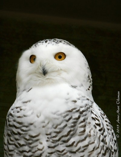 Snow Owl like in Harry Potter movies
