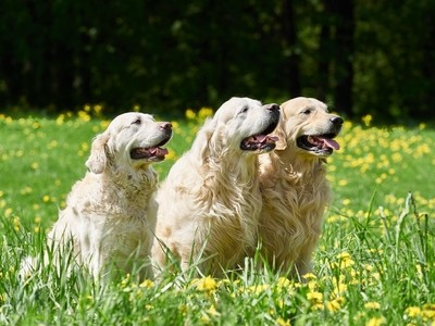 Dogs breed golden retriever for a walk in the meadow with dandelions