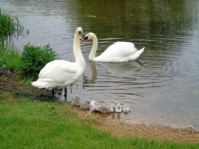Protective mummy and daddy swan