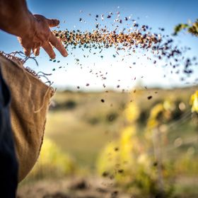 Sowing the land. Here, a farmer in Tuscany, Italy is planting an assortment of legumes throughout his vineyard for the winter months to aerate th...