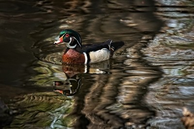 Duck in ripples