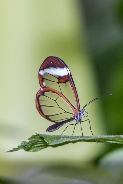 Glass butterfly-Greta Ono