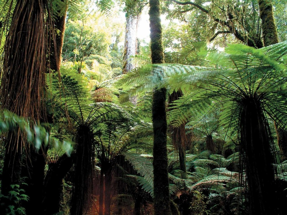 Whirinaki Rainforest near Taupo NZ