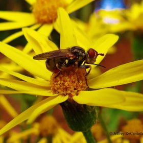 This photo of the fruit fly landing on the daisy was published in the 2nd Inaugural Issue of SMOKY BLUE LITERARY & ARTS REVIEW in 2015. Photo...