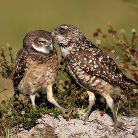 A mother Burrowing Owl preens her fledgling.
