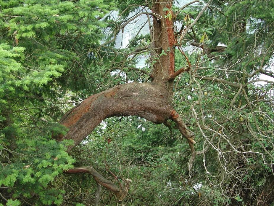 deception pass tree limb