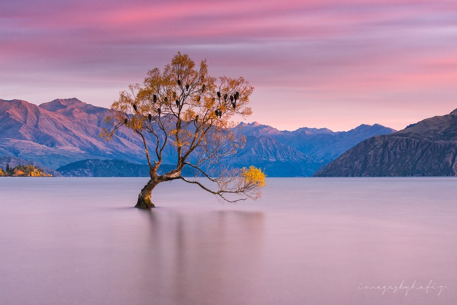 Purple Morning at That Wanaka Trees