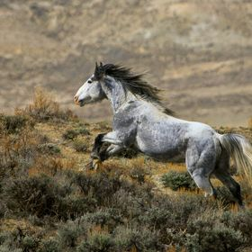 A wild stallion runs freely across a sagebrush covered ridge line in the far northwest corner of Colorado.