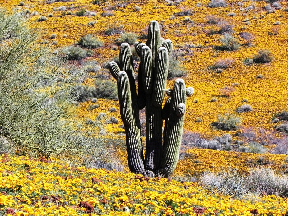 A  saguaro (Carnegiea gigantea), which is an arborescent (tree-like) cactus species in the monoty...