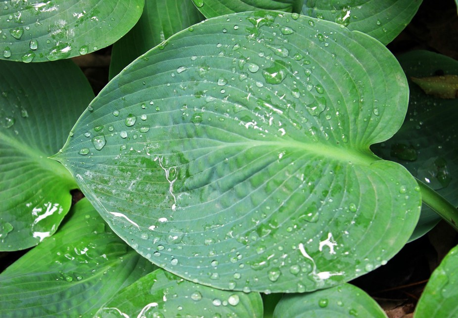 I've grown different types of hosta over the years, but this is one of my favorites. Blu...