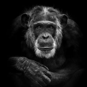 Mike is the beautiful gray old boss at Amersfoort Zoo. Mike is 51 which is very old for a chimp. For years he was the leader of the group and he ...