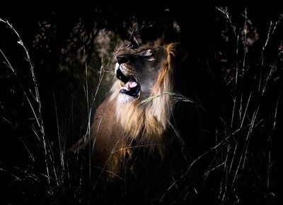 Male lion looking up