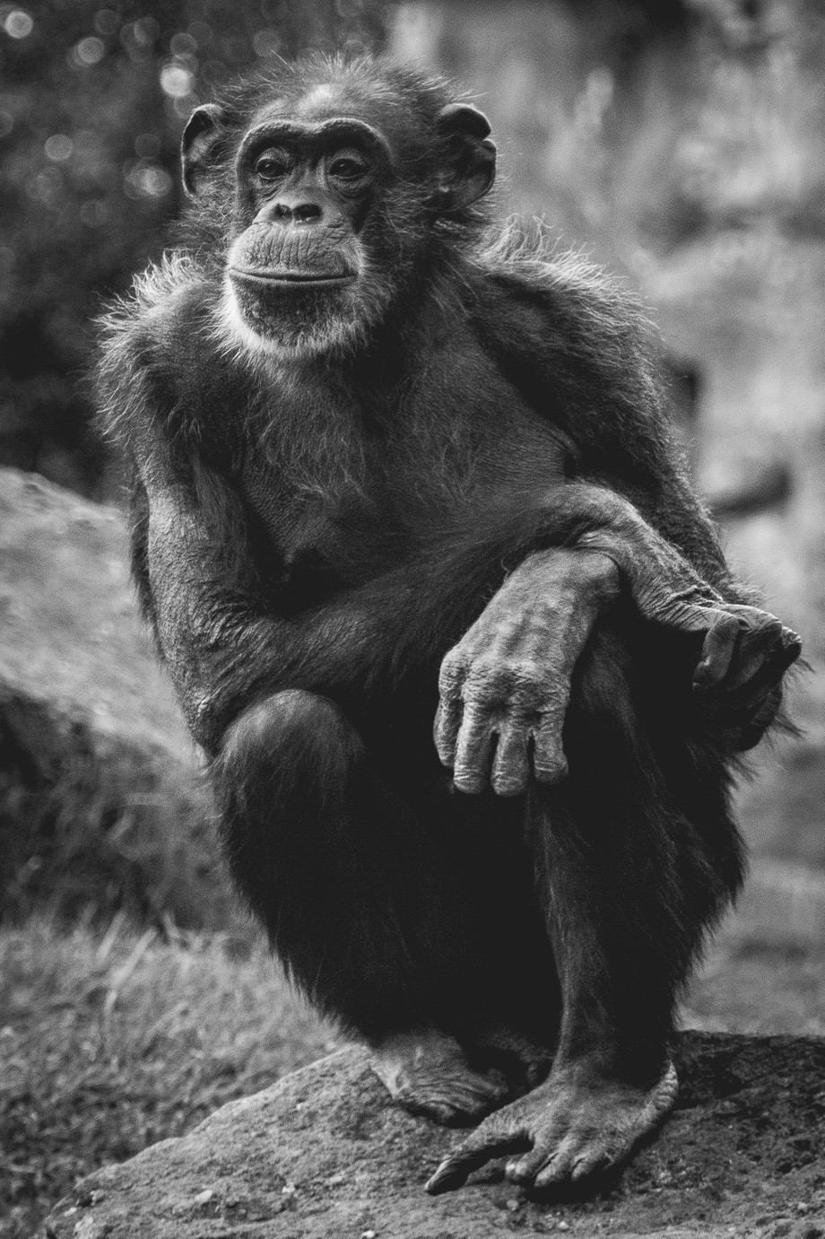Chimp-Mood by Markus_D - Monkeys And Apes Photo Contest