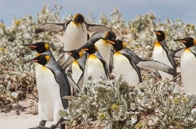 King penguins, Volunteer Point