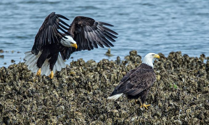 I'm gonna get you sucka! by brentmorris - Just Eagles Photo Contest