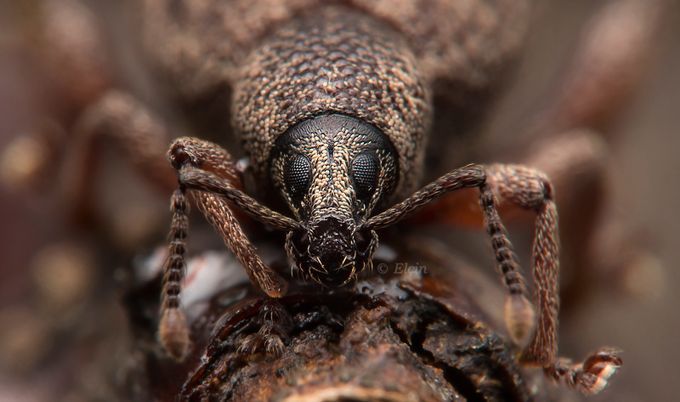 Weevil by Elchin_Jabbarov - The Brown Color Photo Contest