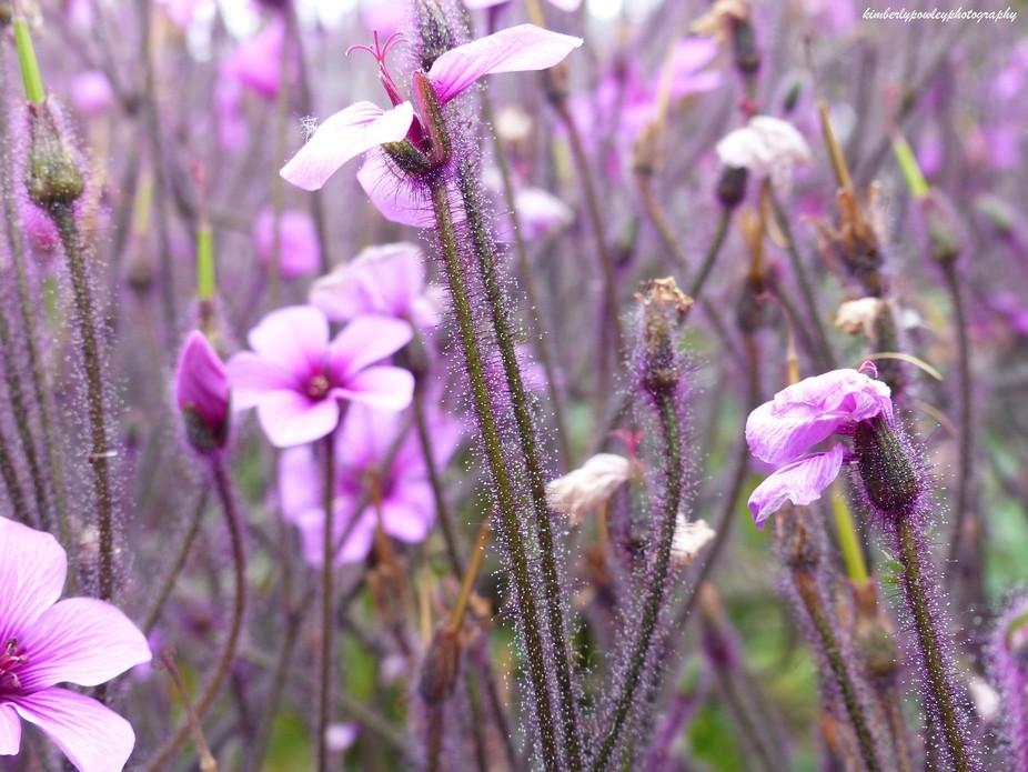 Purple Capitola Flowers