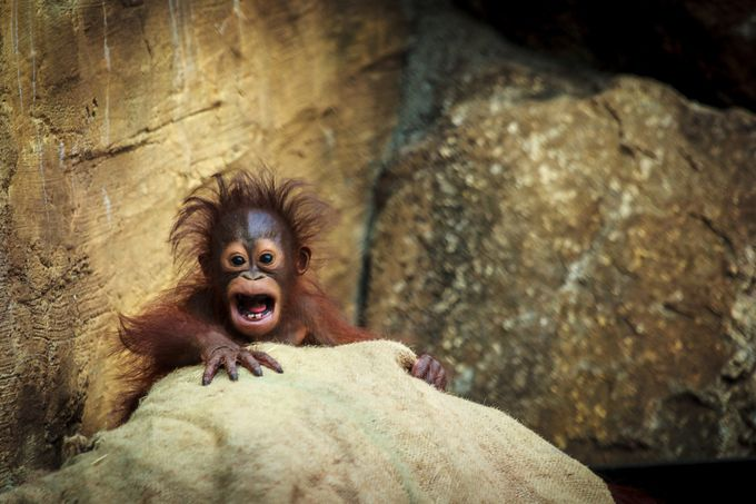Monkeying around by Feds - Monkeys And Apes Photo Contest