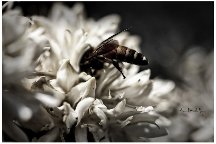 Bee nectaring from Coffee Flowers.
