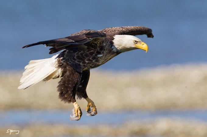 Eagle Landing; Chincoteague, Va by syoung_va - Just Eagles Photo Contest