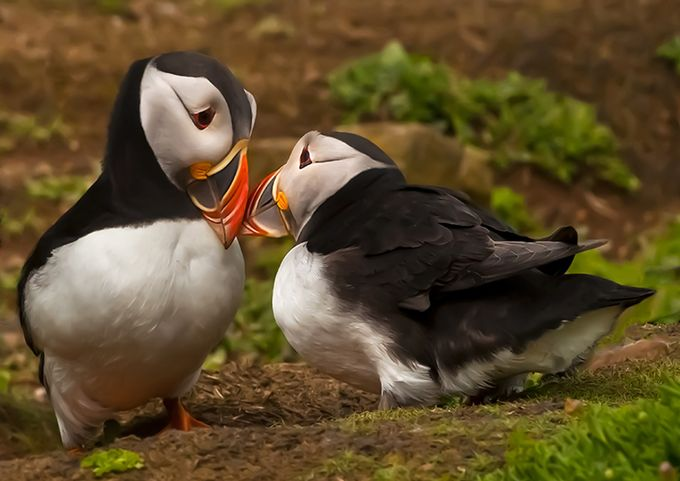 Puffins bonding. by delhunter - Small Wildlife Photo Contest