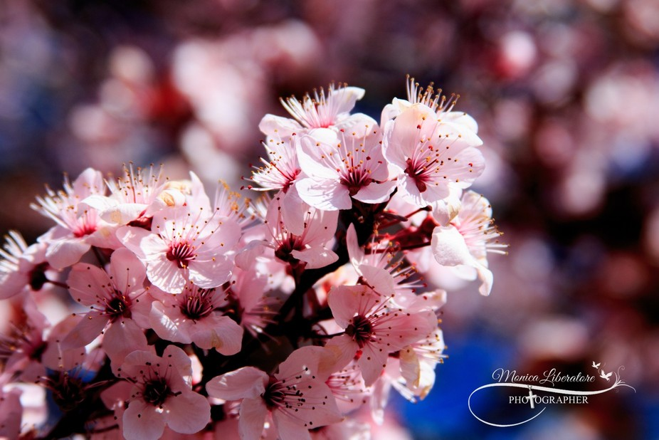 Cherry Blossoms-1