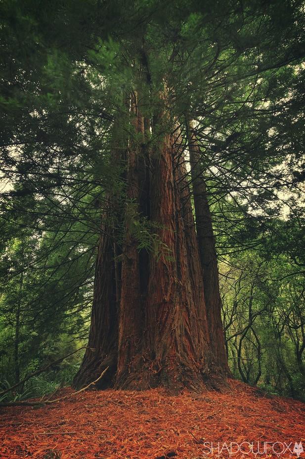 Redwood by ShadowfoxCreative