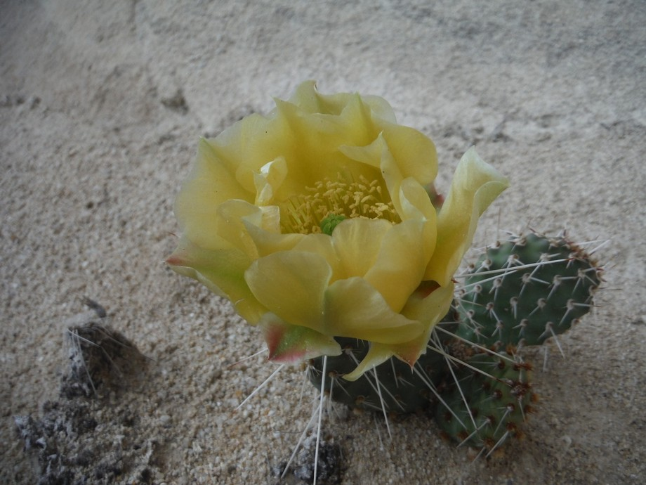 A Big Flower on such a little cactus