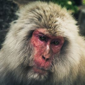 Portrait of a Japanese macaque, aka a snow monkey.