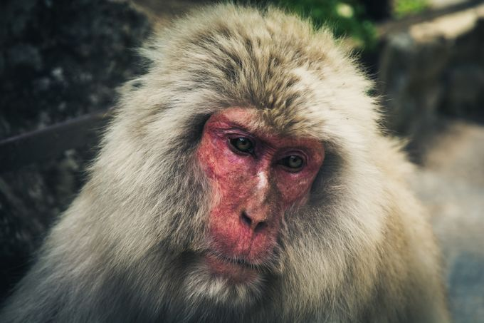 Snow Monkey by michaelneinast - Our Natural Planet Photo Contest