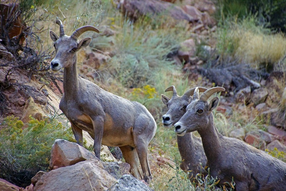 Captured in Capitol Reef N. P. Utah in September 2014. A small herd comprised of females and a couple of kids. Sadly no males were with them.